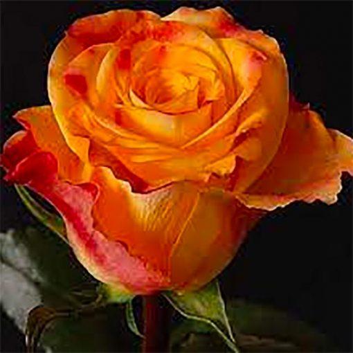 Orange rosor