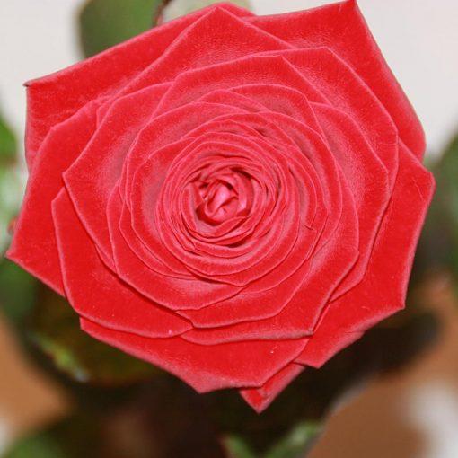 Röd rosor