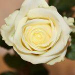 Vit rosor